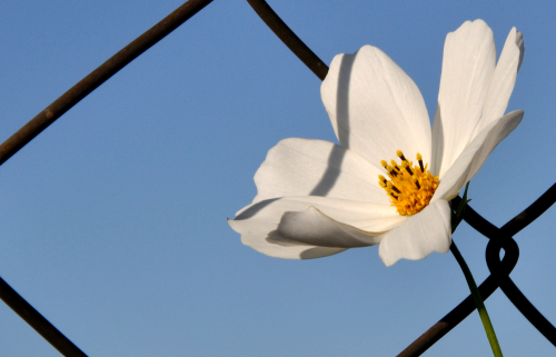 Cosmos on a fence