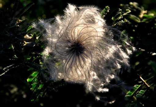 Backlit flower in acacia