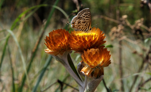 "Butterfly on Helichrysum (""Everlasting"")"