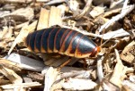 A species of cockroach, not sure which.