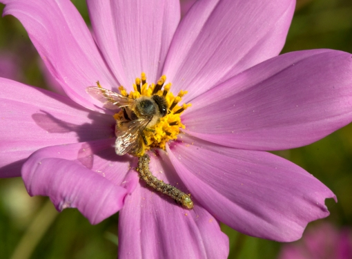 I caught this bee and caterpillar sharing a flower.