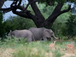 Elephants, impala, mongooses and a monkey gather beneath one of the vast trees that cover the flood-plain