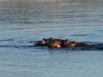 There was a resident pod of hippos in a pool in front of the lodge. They kept us entertained for hours.