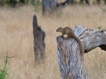 A ground squirrel on a log.