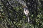 pale hornbill
