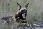 wild dog smile