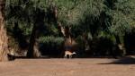 impala trees