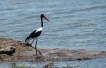 saddle bill stork